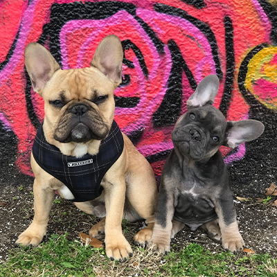French bulldog puppies in front of wall mural