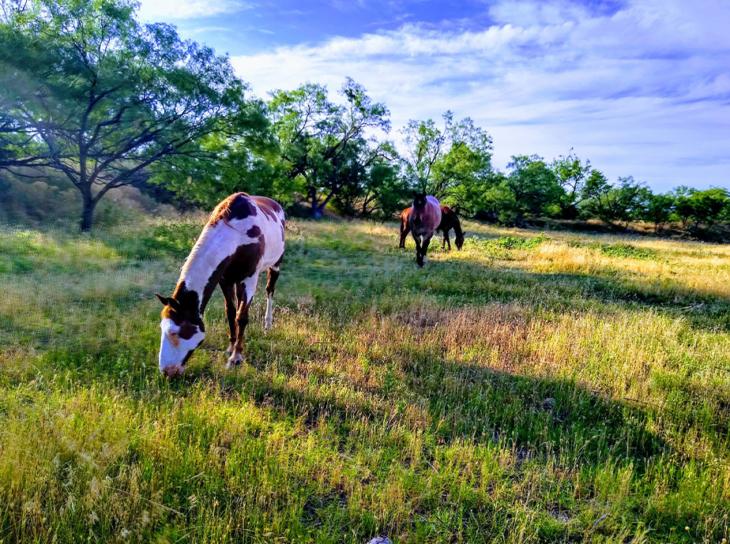 Horses grazing in Abilene area field
