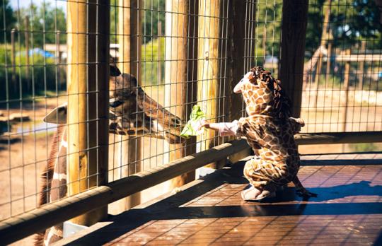 Toddler in giraffe costume feeding a giraffe at Abilene Zoo